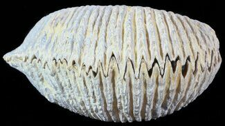 Rastellum carinatum - Fossils For Sale - #49881