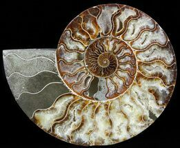 "Buy 7.6"" Cut Ammonite Fossil (Half) - Agatized - #49906"