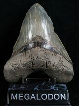 "Buy 5.41"" Serrated Monster Megalodon Tooth - #4597"