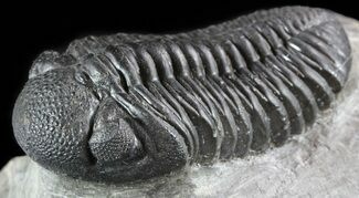 "Buy Detailed, 3.3"" Pedinopariops Trilobite - Mrakib, Morocco - #50548"