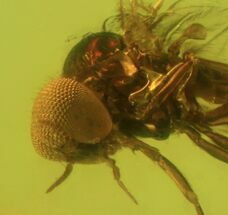 Buy Detailed Fossil Fly (Simuliidae) In Baltic Amber - #50641