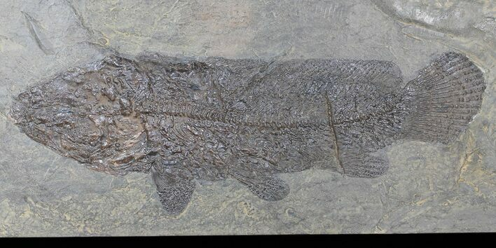 "10.7"" Amia From Messel Shales, Germany - Collector Specimen!"
