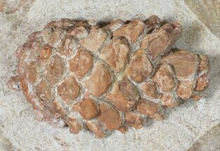 "2.1"" 3D, Oligocene Aged Fossil Pine Cone - Germany For Sale, #50768"