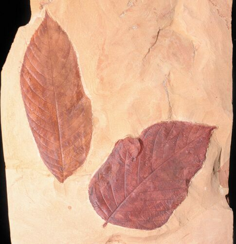 Two Large Fossil Leaves (Browniea, Castanea) - Montana