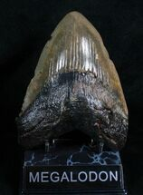 "Buy Wide 5.31"" Megalodon Tooth - South Carolina - #4636"