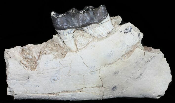 "11.5"" Brontotherium (Titanothere) Jaw Section - (reduced price)"