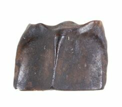 "Buy .25"" Edmontosaurus (Duck-Billed Dinosaur) Shed Tooth - #50404"