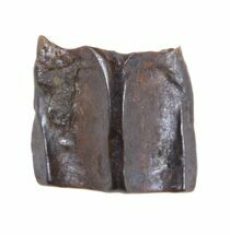 "Buy .28"" Edmontosaurus (Duck-Billed Dinosaur) Shed Tooth - #50407"