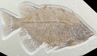 "Beautiful, 11.3"" Phareodus Fish Fossil - Scarce Species For Sale, #50990"