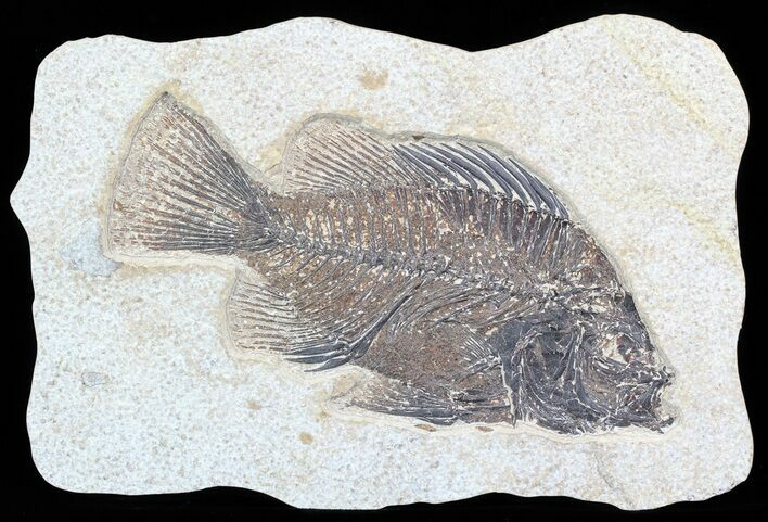 "5.85"" Cockerellites (Priscacara) Fossil Fish - Hanger Installed"