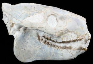 "7.5"" Oreodont (Merycoidodon) Skull - South Dakota For Sale, #51146"
