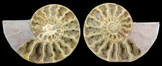 "Buy 9.7"" Cut & Polished, Jurassic Ammonite Fossil - Madagascar - #51253"