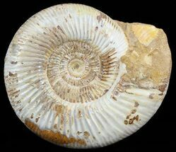 "Buy Large, 6.5"" Perisphinctes Ammonite - Jurassic - #51346"