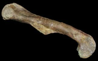 "Buy Killer, 18""  Kritosaurus Femur - Aguja Formation, Texas - #51409"
