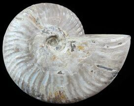 Cleoniceras - Fossils For Sale - #51492