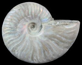 "3.2"" Silver Iridescent Ammonite - Madagascar For Sale, #51503"