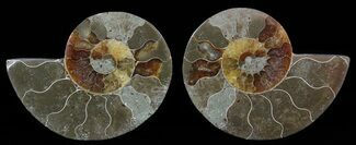 "Bargain, 3.5"" Sliced Fossil Ammonite Pair For Sale, #51482"