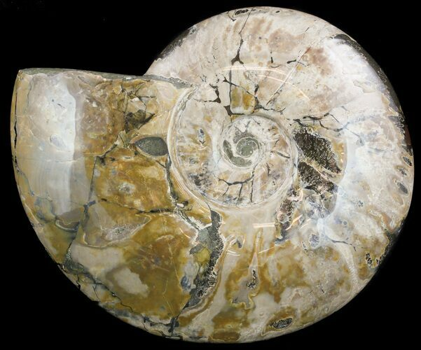 "10.4"" Wide, Polished Ammonite Fossil - Madagascar"