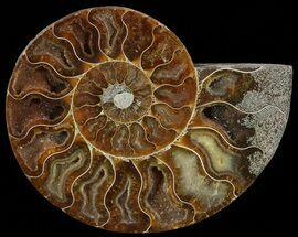 Cleoniceras cleon - Fossils For Sale - #51774