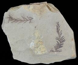 Metasequoia (Dawn Redwood) Fossil Plate - Montana  For Sale, #52172