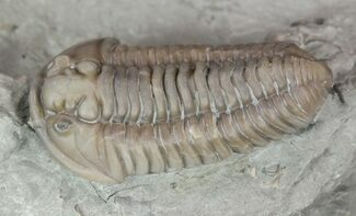 "Buy 1.2"" Prone Flexicalymene Trilobite In Shale - Ohio - #52201"