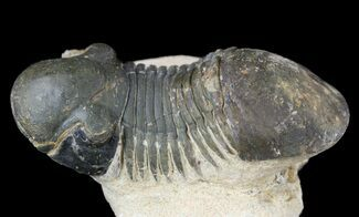 "Buy Bargain, 2.8"" Paralejurus Trilobite Fossil - Foum Zguid, Morocco - #53530"