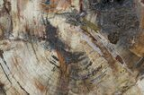 "12.5"" Colorful Petrified Wood Round - Madagascar - #54209-2"