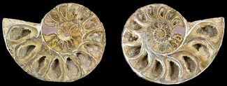 "3.55"" Cut & Polished, Agatized Ammonite Fossil - Jurassic For Sale, #53840"