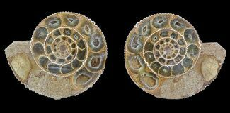 Perisphinctes sp. - Fossils For Sale - #53856