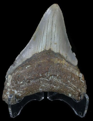 "3.75"" Megalodon Tooth - North Carolina"