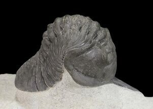 Arched Morocconites Trilobite - Ofaten, Morocco For Sale, #54404