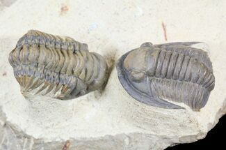 Beautiful Crotalocephalina & Dalejeproetus Trilobite Association For Sale, #54338