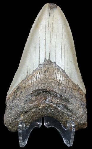 "Bargain 4.11"" Megalodon Tooth - North Carolina"