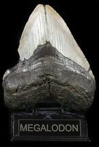 "Buy Bargain, 5.71"" Megalodon Tooth - North Carolina - #54748"