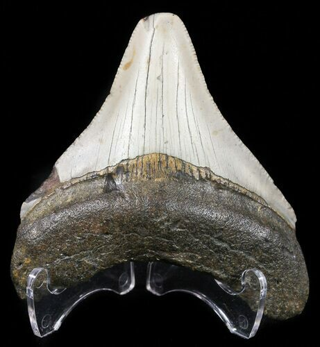 "Bargain, 2.90"" Megalodon Tooth - North Carolina"