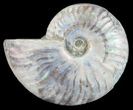 "Buy 4.3"" Silver Iridescent Ammonite - Madagascar - #54889"