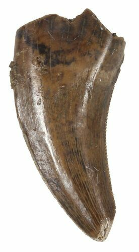 ".71"" Small Theropod Tooth (Raptor) - Montana"