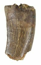 "1.05"" Partial Tyrannosaur Tooth - Montana For Sale, #52691"