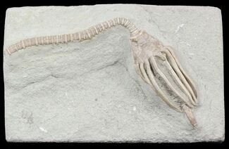 "Detailed, 4"" Macrocrinus Crinoid With Stem - Indiana For Sale, #55157"