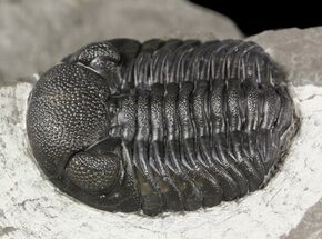 "Buy 1.1"" Eldredgeops (Phacops) Trilobite - New York - #54997"