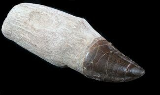 "5.7"" Rooted Mosasaur (Prognathodon) Tooth - Massive For Sale, #55820"