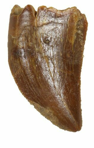 "Bargain, .69"" Juvenile Carcharodontosaurus Tooth"