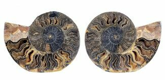 "Buy 4.9"" Split Black/Orange Ammonite Pair - Unusual Coloration - #55606"