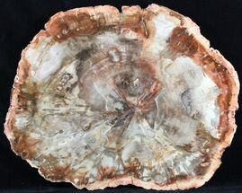 "Buy Top Quality Madagascar Petrified Wood Slab - 13.6"" - #56026"