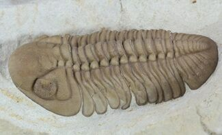 "Buy 2.2"" Caramel Colored Lochovella Trilobite - Oklahoma - #56248"