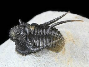 "Buy 1.2"" Spiny Cyphaspis Trilobite - Top Quality Specimen - #56254"
