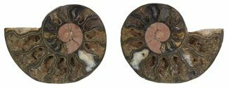 "Buy 2.4"" Split Black/Orange Ammonite Pair - Unusual Coloration - #55558"
