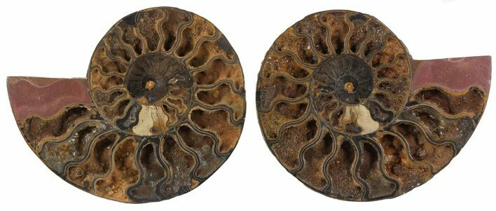 "6.1"" Split Black/Orange Ammonite Pair - Unusual Coloration"