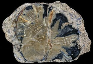 "Buy 8.4"" Petrified Wood Slice - Blue Forest, Wyoming - #56023"