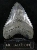 "Serrated, 4.87"" Fossil Megalodon Tooth - Georgia For Sale, #56357"